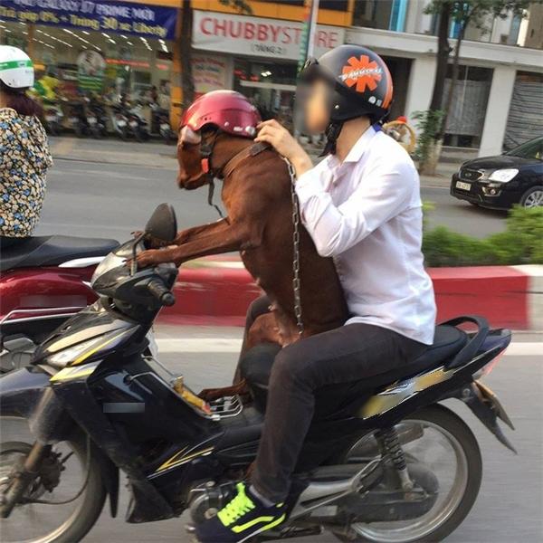 Chàng thanh niên để chú chó ngồi phía trước tay lái và sử dụng hai chân trước của chú điều khiển chiếc Honda lưu thông trên đường.