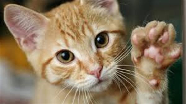 Nước bọt của mèo, chó có thể chứa virusdại và nó có thể truyền sang người qua vết cào. (Ảnh: Internet)