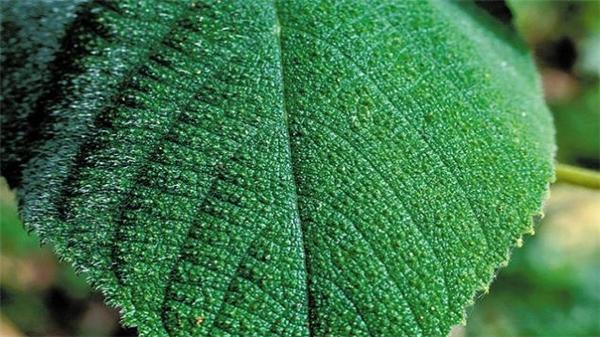 Những sợi lông nàycó chứa độc tố thần kinh gây ra cơn đau tột cho ngườicùng nếu vô tình chạm vào.