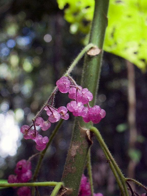 Quả của cây Gympie-Gympie có màu tím nhạt rất đẹp.