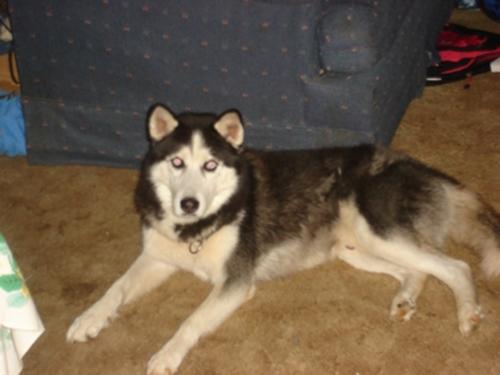 Chú chó Shana dũng cảm cứu ông bà chủ của mình trong một trận bão tuyết.