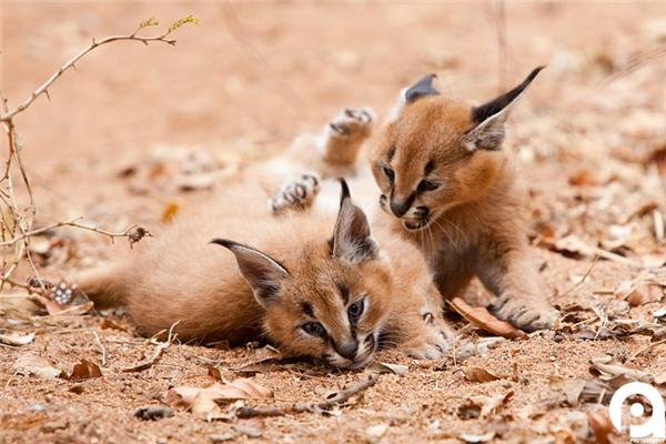Chúng thường hoạt động đơn độc một mình, nhưng đôi lúc thường đi thành đôi thành cặp, nhất là vào mùa sinh sản.