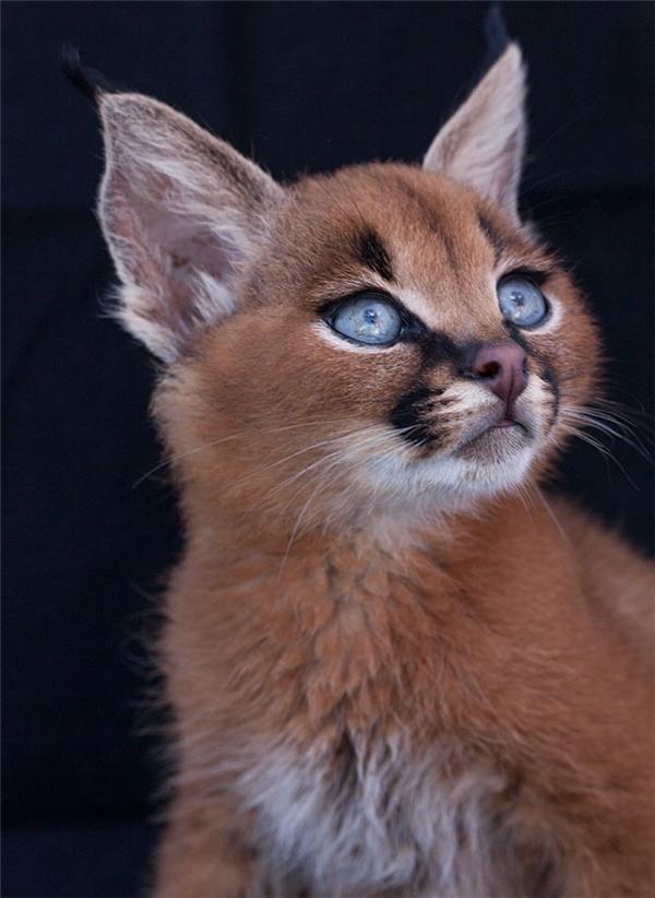 Dù thân hình được xem là nhỏ bé trong họ nhà mèo nhưng con trưởng thành có thể nặng đến 22,6kg.