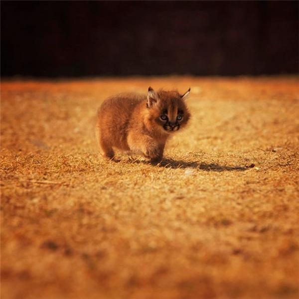 Linh miêu con sau khi đủ cứng cáp (khoảng 9-10 tháng) sẽ tự mình lăn lộn với cuộc sống hoang dã.