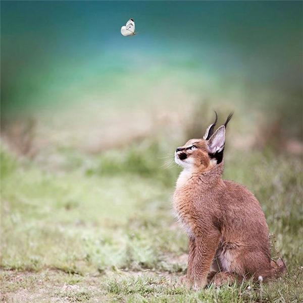 Ngoài ra khả năng leo trèo và nhảy cao siêu hạng cũng giúp chúng dễ dàng bắt được chim.
