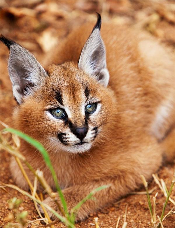 Đúng với tên gọi của mình, loài linh miêu tai đen này có bộ lông hung đỏ với một đôi tai vểnh cao, phía trên có búi lông đen mọc dài nổi bật.