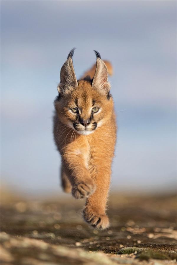 Chúng có thể chạy với vận tốc 80km/h và hạ gục một người trưởng thành trong chớp mắt.