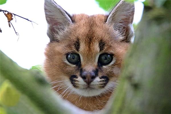 Loài mèo này leo cây rất giỏi, chúng cũng thường đào hang dưới đất để sinh con.