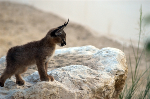 Chúng sinh sống chủ yếu ở châu Phi, vùng Trung Đông và Ấn Độ.