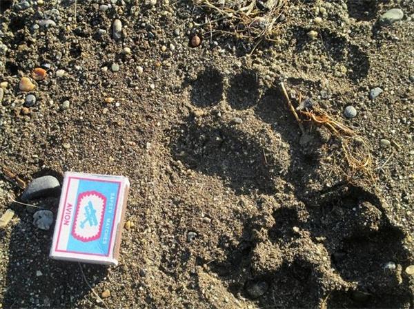 Dấu chân của gấu con. (Ảnh: Mirror)