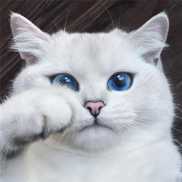 Sở hữu đôi mắt xanh màu thăm thẳm như lòng đại dương, nàng mèo Coby nhanh chóng trở thànhngôi sao sángtrong giới meo meo thời gian gần đây.