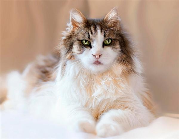 Thêm một chú mèo họ nhà Maine Coon có đôi mắt thôi miên, hút hồn nữa. Bình thườngmỗi chú Maine Coon đã có giá từ13,3-33,3 triệu đồng, còn với chú mèo sở hữu đôi mắt huyền ảo này thì chắc chắn còn giá trị hơn nhiều.