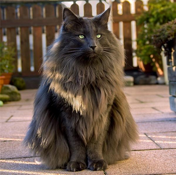 Luan, chú mèo rừng Na Uy tỏa ra khí chấtđầy mạnh mẽ, tự tôn. Bộ lông đen huyền dài mượt mang lại cho Luan một vẻ đẹp bí ẩn lạ kì.