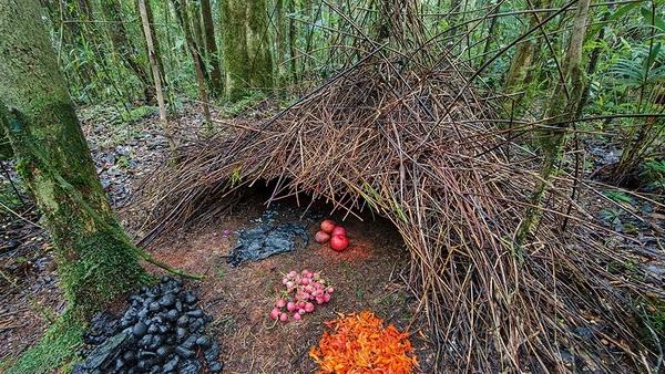 """Bên trong """"mái nhà"""", những chú chim trống mang về nhiều loại hoa quả, bọ cánh cứng và các đồ trang trí đầy màu sắc sặc sỡ được sắp xếp có rất nghệ thuật để thu hút bạn tình."""