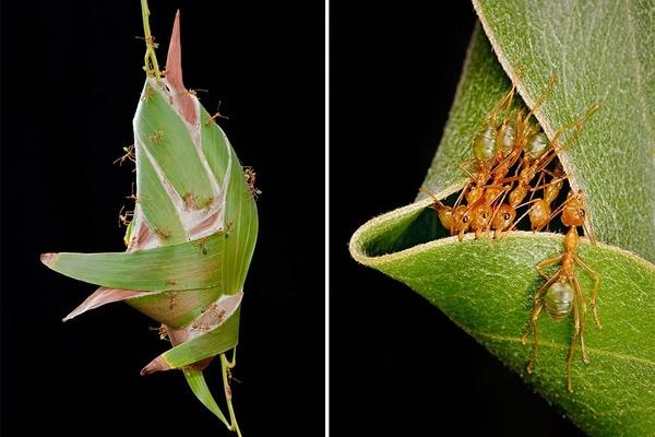 """Kiến Weaver (Kiến Thợ Dệt)- Loài kiến này sống ở Trung Phi và Đông Nam Á. Kiến Weaverthường đan những chiếc lá còn xanh tươi lại với nhau và kết chúng lại bằngmột loại """"keo dính"""" đặc biệt lấy từ tơ ấu trùng để làm tổ."""