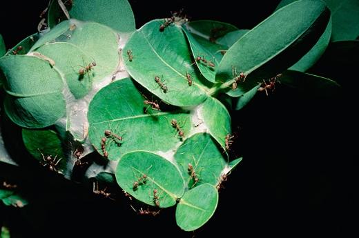 Loài kiến nàyphân chia công việc dựa trênsự khác biệt về kích thước.Kiến thợ lớn tìm thức ăn, bảo vệ và mở rộng phạm vi lãnh thổ trong khi kiến thợ nhỏ ở lại xây tổ và bảo vệ khu vựcquanh tổ.