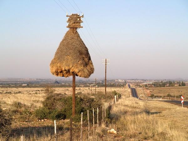 Chim sẻ Ploiceidae- Loài chim này có hình dáng nhỏ nhắn, nhanh nhẹn, sinh sống chủ yếu tại bình nguyên khô cằn, nơi tiếp giáp biên giới giữa Nam Phi và Namibia. Chim Ploiceidae thường xây những cái tổ rất lớn để có thể ở chung một đại gia đình nhiều thế hệ lên đến hàng trăm con.