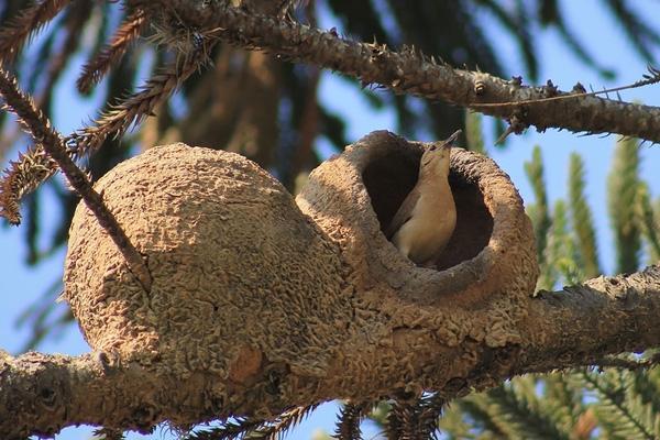 """Không chỉ """"xây nhà"""" giỏi, loài chim này còn rất tinh tế trong việc tôn trọng sự riêng tư. Mỗi tổ chim thường có vách ngăn, chia thành hai gian gồm gian sinh hoạt chung và buồng sinh nở cho chim cái."""