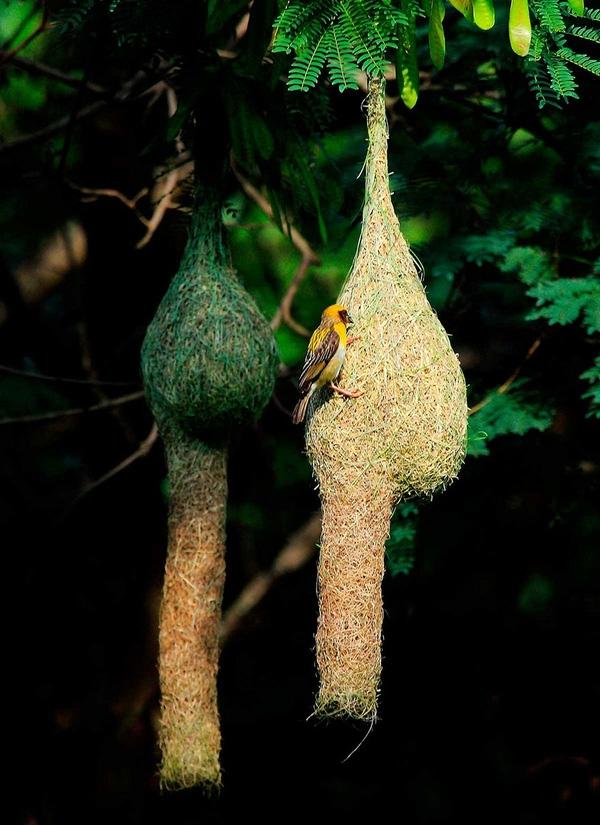 Bên cạnh những cọng cỏ xanh tươi, chim Baya còn tận dụng rơm, cỏ khô làm vật liệu xây tổ.