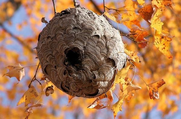 Tổ ong Vò Vẽ trông bên ngoài như một quả cầuvới nhiều mái vòm tí hon.