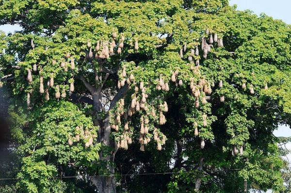 Hàng trăm chiếc tổ của chim vàng anh Montezuma treo lủng lẳng trên một thân cây, tất cả do một con chim đực đầu đàn thống trị.