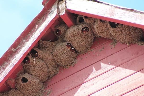 Chim Nhạn - Loài này thường làm tổ trong các thành phố, thị trấn và làng mạc. Tổ của chúng khá nông, hình cái chén và được đắp bằng các viênbùn gắn lên tường, mái nhà.