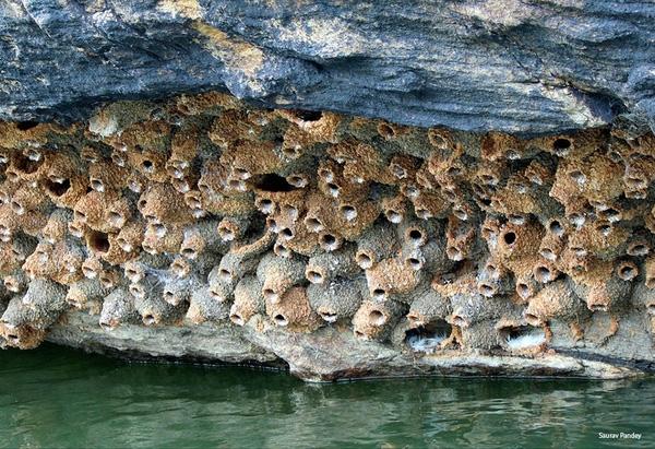 Chim Nhạn gần biển bằng cách đào hang trên vùng đất mềm ven sông hoặc vách đá ven biển. Chúng thường xây tổ gần nhau, liên kết lại trông rất độc đáo.