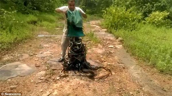 """Được biết, """"nùi"""" rắn này gồm 285 con.(Ảnh: Newslions)"""