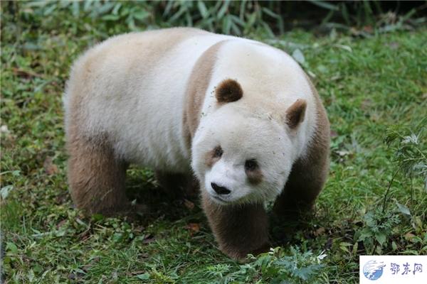 Không có mẹ từ nhỏ lại khác với đồng loại, Qizai thường bị những chú gấu trúc lớn hơn bắt nạt và cướp mất đồ ăn.