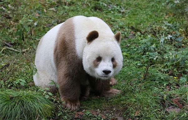 Qizai là một chú gấu rất hiền lành, dễ thương và có chút chậm chạp.
