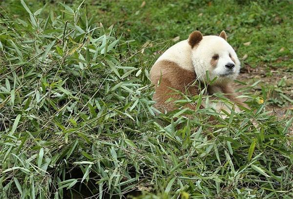Chết ngất với độ đáng yêu của chú gấu trúc lông nâu duy nhất thế giới