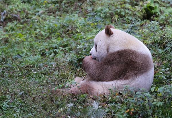 Mỗi ngày chú gấu Qizai ăn hết khoảng 20kg tre trúc chia làm năm bữa.
