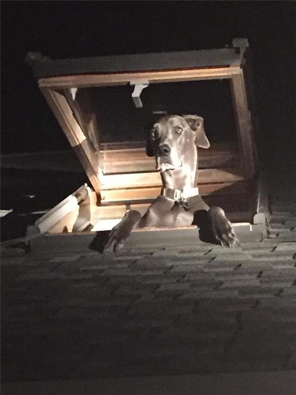 Mục đích trèo lên mái nhà của chú chó chỉ để hóng gió mà thôi.