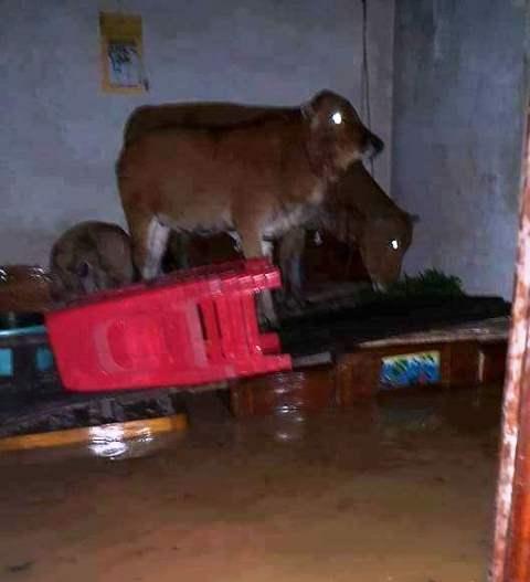 Những con bò, con bê may mắn còn sống xót trong tình trạng trú ngụ nhưu thế này.Ảnh: facebook