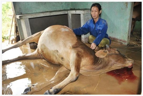 Vật nuôi chết vì lạnh và ngợp nước. (Ảnh: Internet)