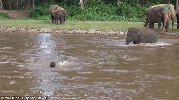 Cô voiKham Lhalao mình xuống sông để cứu chủ gặp nạn.