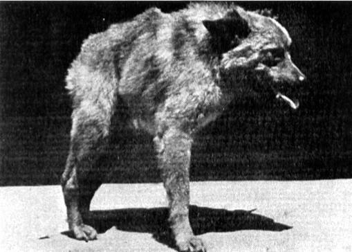 Chú chó xương sống ngắn được phát hiện tại Nhật Bản năm 1956. (Ảnh: Internet)