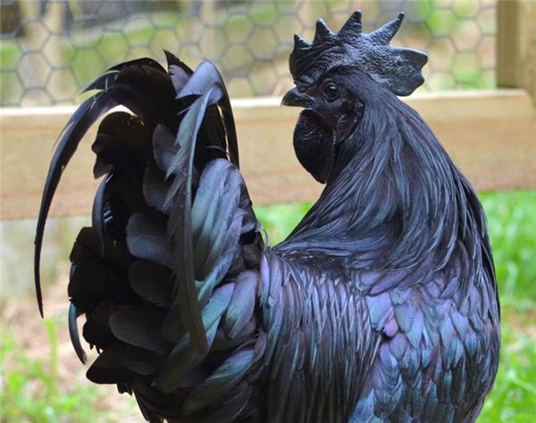 Nhưng Ayam Cemani vẫn là giống gà đen nhất trong tất cả các giống gà đen.