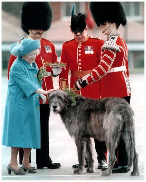 Đến nữ hoàng nước Anh cũng thích thú với giống chó săn này.(Ảnh: Internet)