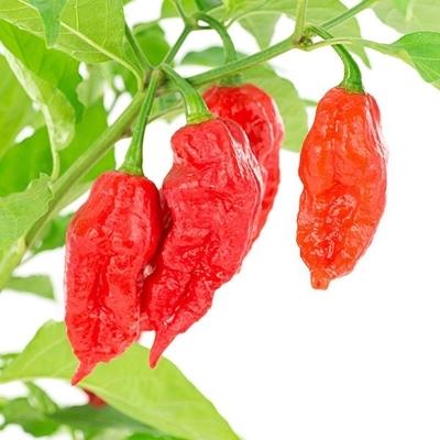 Thủng cổ họng vì ăn một trong những loại ớt cay nhất thế giới