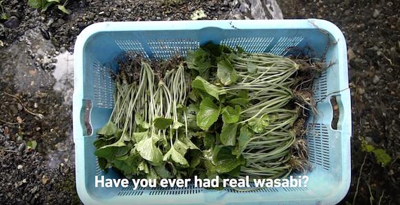 Wasabirất khó gieo trồng ở quy mô lớn và chỉ có một số vùng trên thế giới thích hợp mới có thể trồng được wasabi.