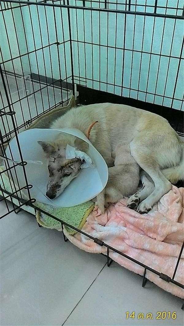 Một người tốt bụng đã đưa chó mẹ đi cấp cứu. (Ảnh: Internet)