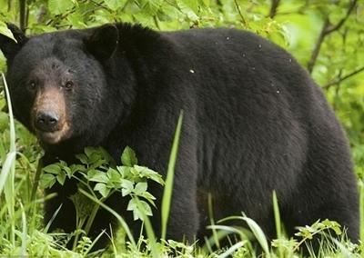 Con gấu bất ngờ xuât hiện khiến ôngAtsushi Aoki không làm chủ được tình thế.