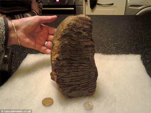 Tìm thấy răng khổng lồ của voi ma mút tuyệt chủng gần 5 triệu năm
