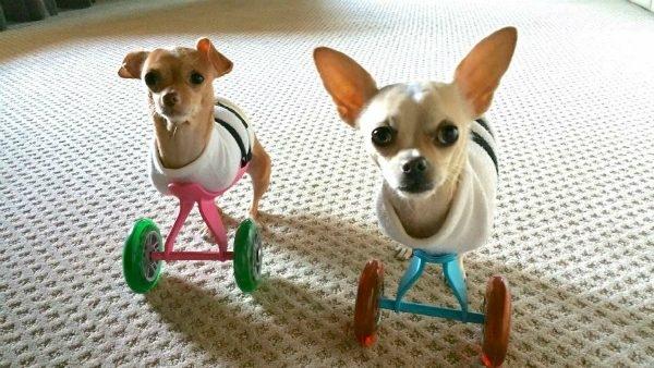 """Hai chú chó và những """"chiếc chân giả""""."""