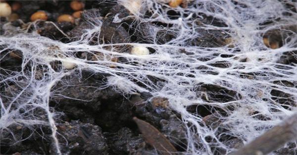 Loài nấm này có tuổi thọ ước tính 1.900 - 8.650 năm.