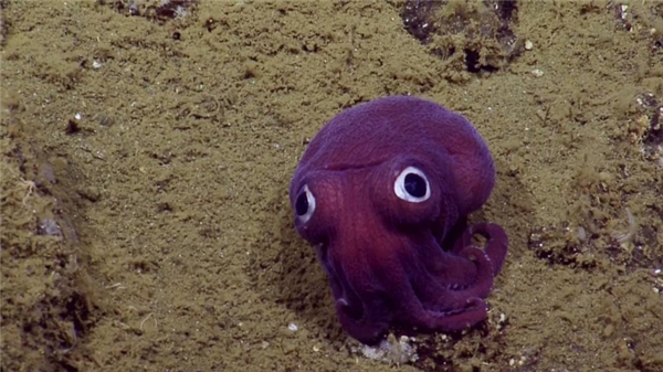 Mới đây, các nhà khoa học đã phát hiện ở ngoài khơi California, dưới độ sâu hơn 900m, có một sinh vật trông giống như một chú bạch tuột màu tím có đôi mắt tròn xoe như nhân vật hoạt hình.