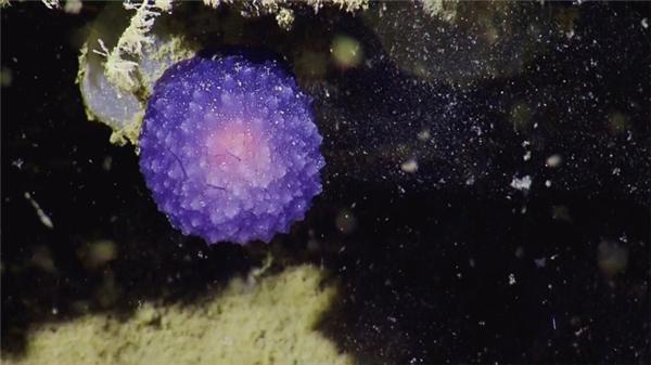 Ngoài ra nhóm nhà khoa học nói trên cũng phát hiện thêm ở độ sâu 1.500m một sinh vật hình cầu màu tím kỳ lạ đang phát sáng nhè nhẹ trong một hốc tối mà họ không xác định được đó là con gì.