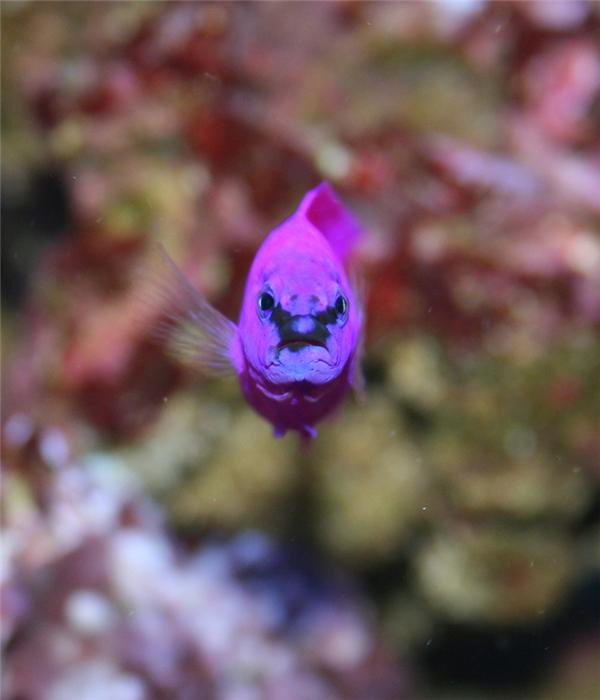 """Cá orchid dottyback (tên khoa học là Pseudochromis fridmani) là loài cá """"đặc sản"""" của vùng Biển Đỏ, thuộc Ấn Độ Dương."""