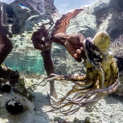 Một thợ săn bạch tuộc lâu năm có thể bắt được hàng chục con nếu chiều hôm đó thủy chiều xuống thấp.